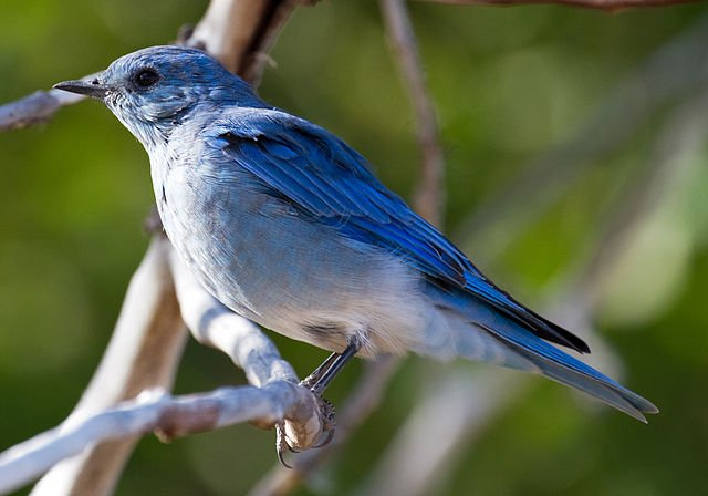 By Tony Hisgett from Birmingham, UK (Mountain Blue Bird 6  Uploaded by tm) [CC-BY-2.0 (http://creativecommons.org/licenses/by/2.0)], via Wikimedia Commons