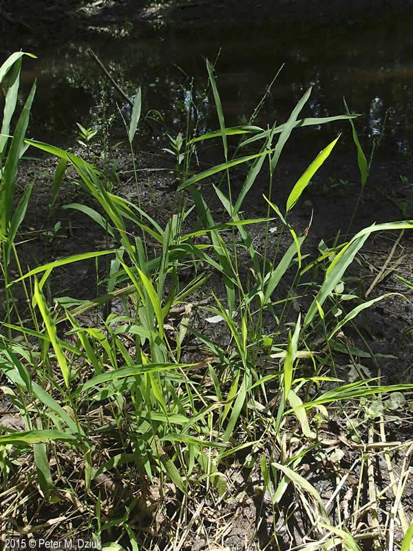 Leersia Virginica White Grass Minnesota Wildflowers