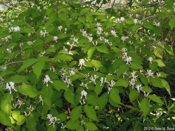 Lonicera maackii (Amur Honeysuckle): Minnesota Wildflowers
