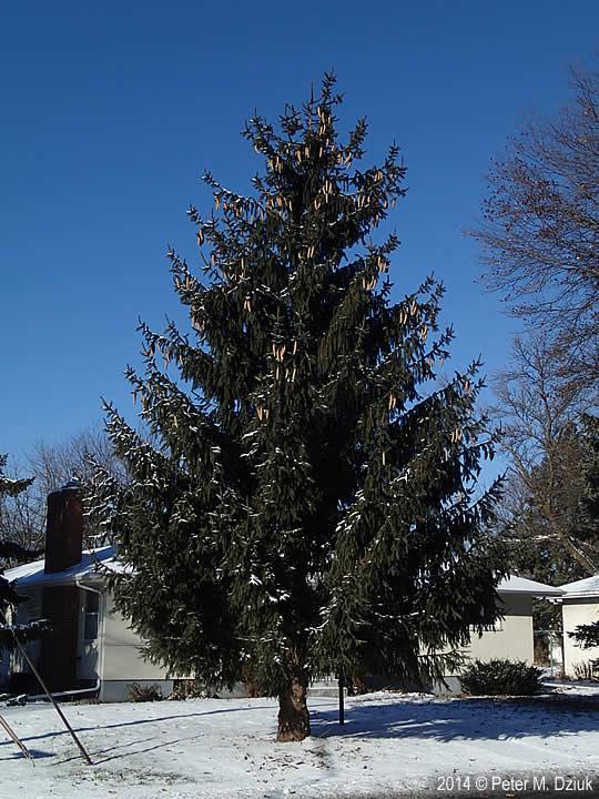 Picea Abies Norway Spruce Minnesota Wildflowers