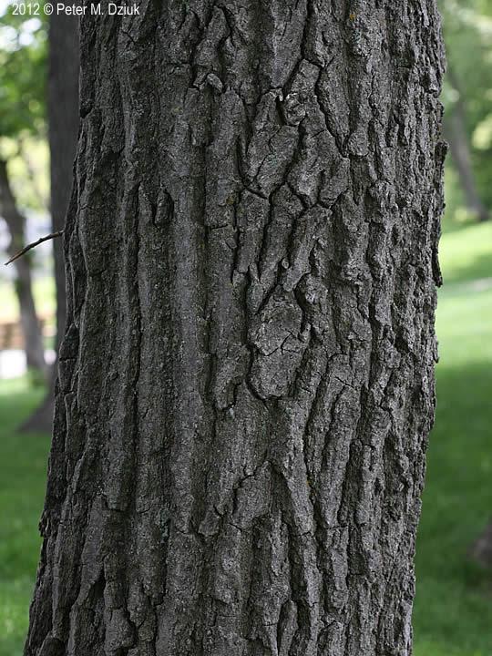 Quercus Rubra Northern Red Oak Minnesota Wildflowers