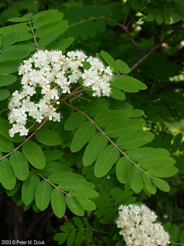 Sorbus Aucuparia European Mountain Ash Minnesota