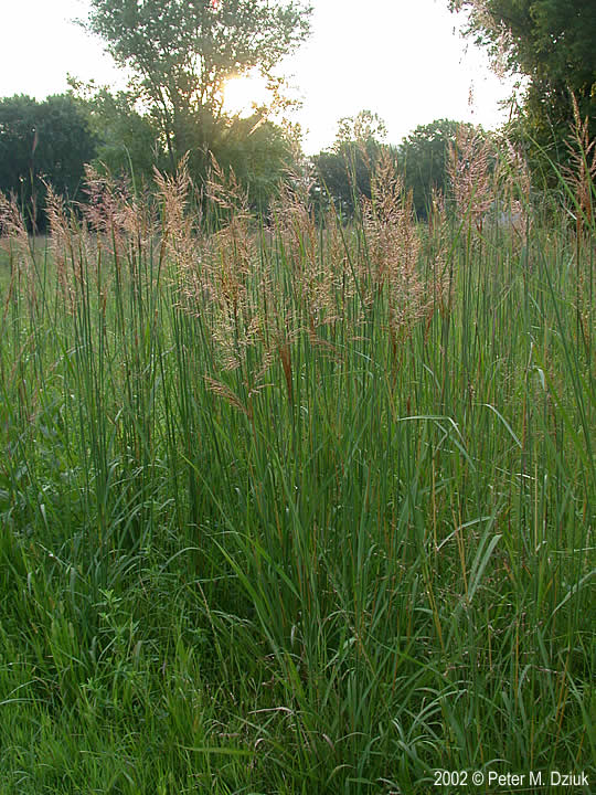 Sorghastrum Nutans Indian Grass Minnesota Wildflowers