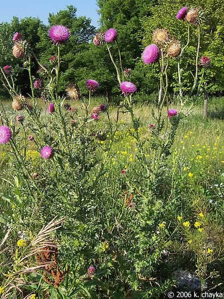 Carduus Nutans Nodding Thistle Minnesota Wildflowers