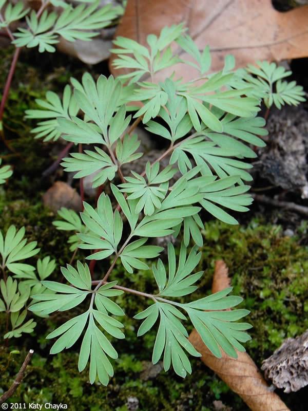 Dicentra Cucullaria Dutchman S Breeches Minnesota
