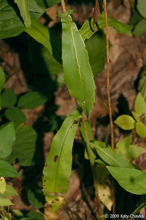 Symphyotrichum Lateriflorum Calico Aster Minnesota