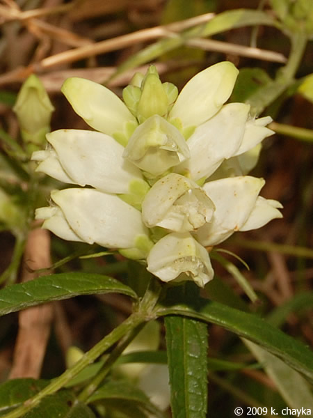 Chelone Glabra White Turtlehead Minnesota Wildflowers