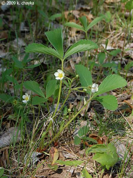 Fragaria Virginiana Wild Strawberry Minnesota Wildflowers