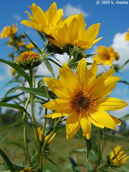 Helianthus Grosseserratus Sawtooth Sunflower Minnesota Wildflowers