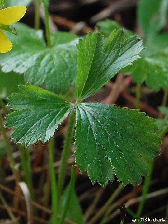 Strawberry Plant Leaf