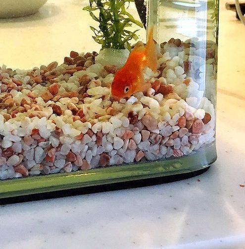 小さな水槽で金魚を飼う