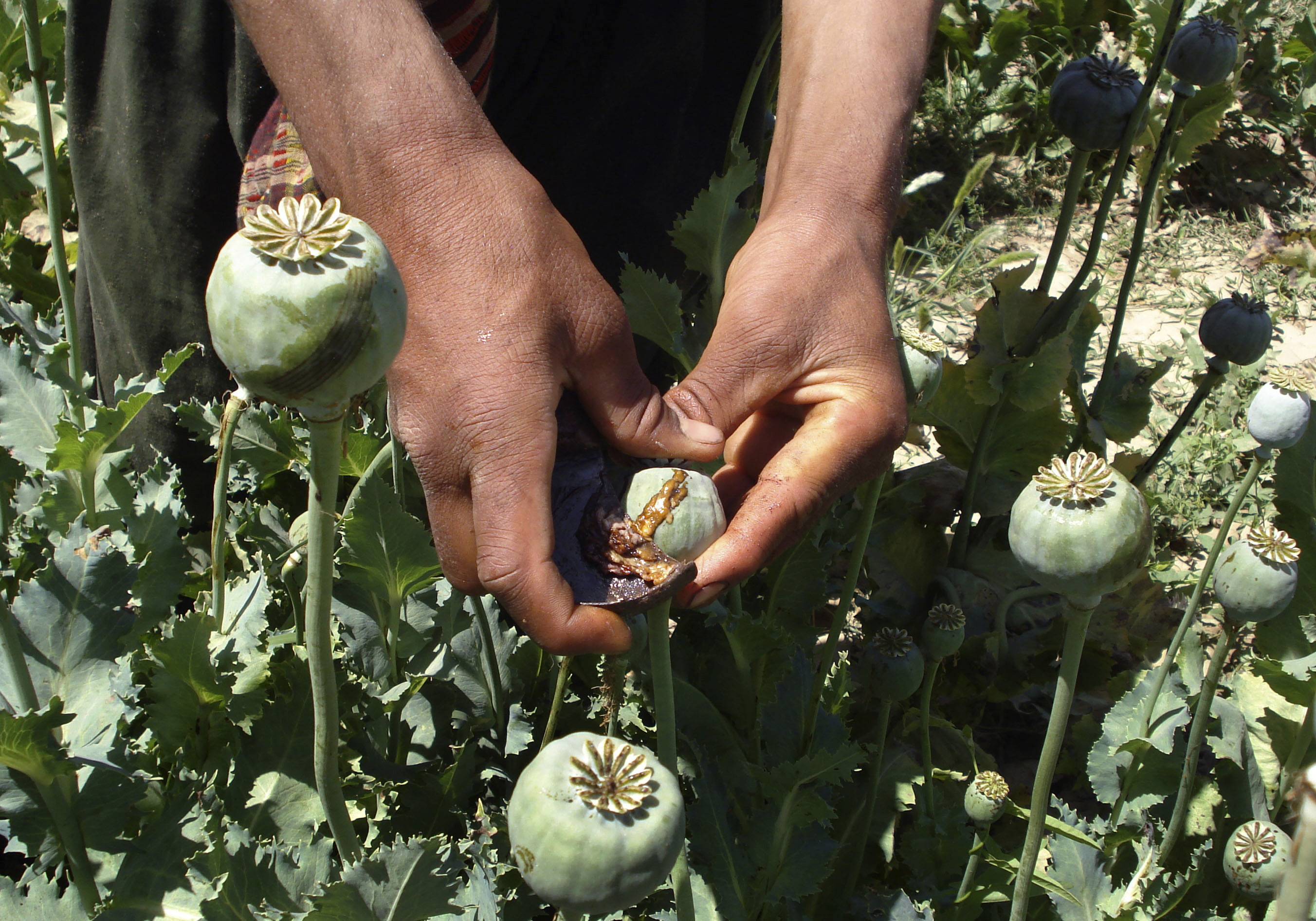 An Afghan man collects resin from poppies in an opium poppy field in Panjwai district of Kandahar province, south of Kabul, Afghanistan on Wednesday, May 21, 2008. Afghanistan supplies some 93 percent of the world's opium used to make heroin (AP Photo)