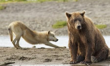 Alaska loups ours