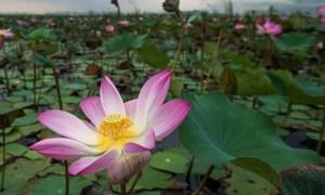 Lotus sacrés