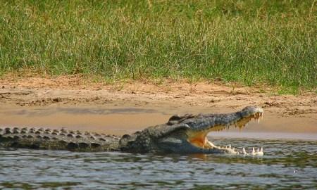 Zimbabwe crocodile