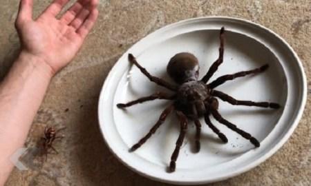 goliath araignée