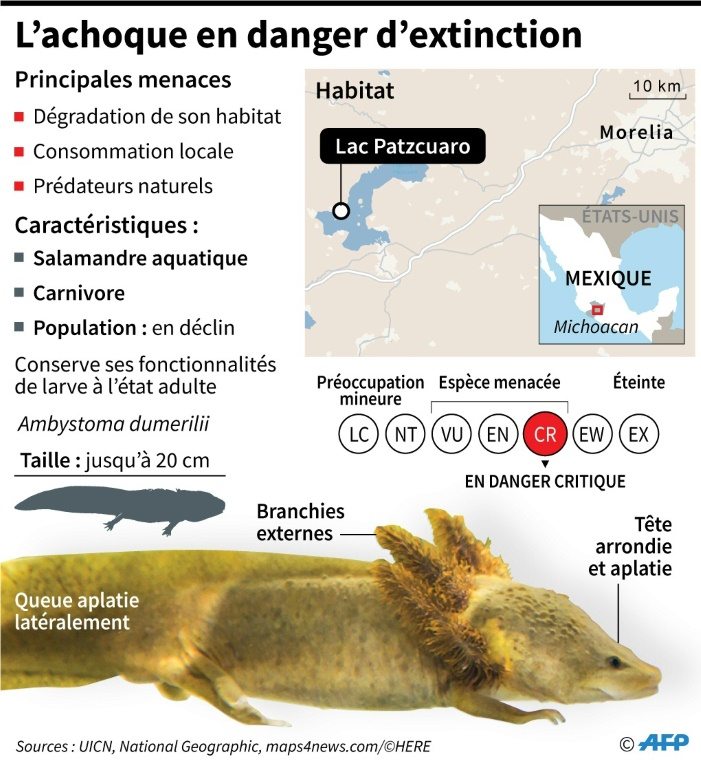 L'achoque en danger d'extinction