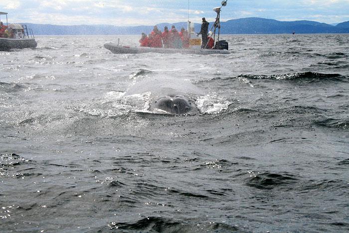 ballenas-tadoussac-canada-roadtrip-mipaseoporelmundo