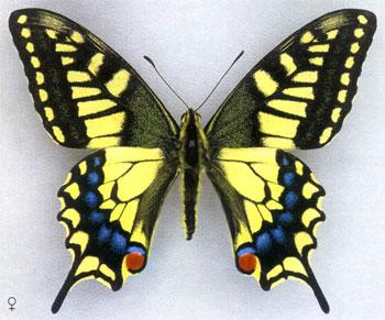 Мир бабочек. Бабочки России - парусник Махаон