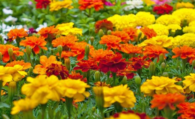 Growing Marigolds   Miracle Gro Give your garden and outdoor living spaces a shot of steady  season long  color by planting marigolds  This popular annual flower is a garden  favorite
