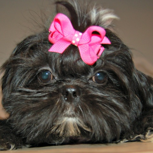 Image result for Administering Pills to your Affenpinscher