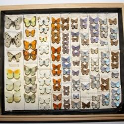 Fluturi cu o valoare stiintifica ridicata, la Muzeul Medias
