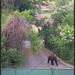 Medias: Ursul a iesit din nou la plimbare