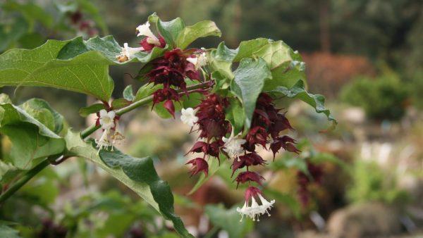 Mirdad Floriterapia Himalaiana