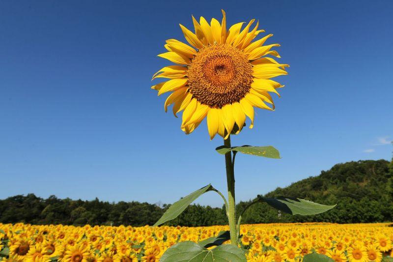 Rozkvetlé slunečnice z Japonska