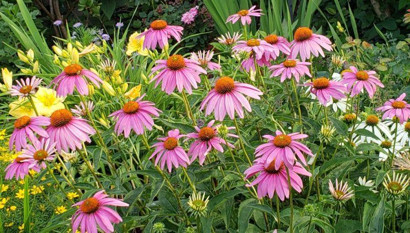 horizonatal cone flowers:garden