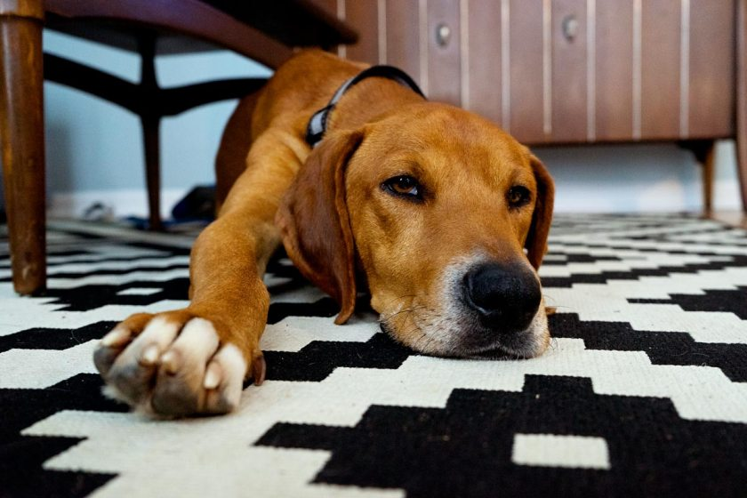 Why Younger Families Should Adopt Older Dogs