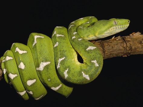 Собакоголовый удав (Corallus caninus)