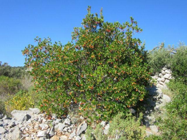 Земляничное дерево, земляничник (Arbutus) символ Мадрида, столицы Испании