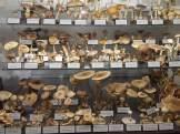 Štitarke, sunčanice i druge gljive / Foto: Vladimira Paleček