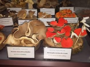 Žilasta tavica, crveni peharček i druge gljive / Foto: Vladimira Paleček