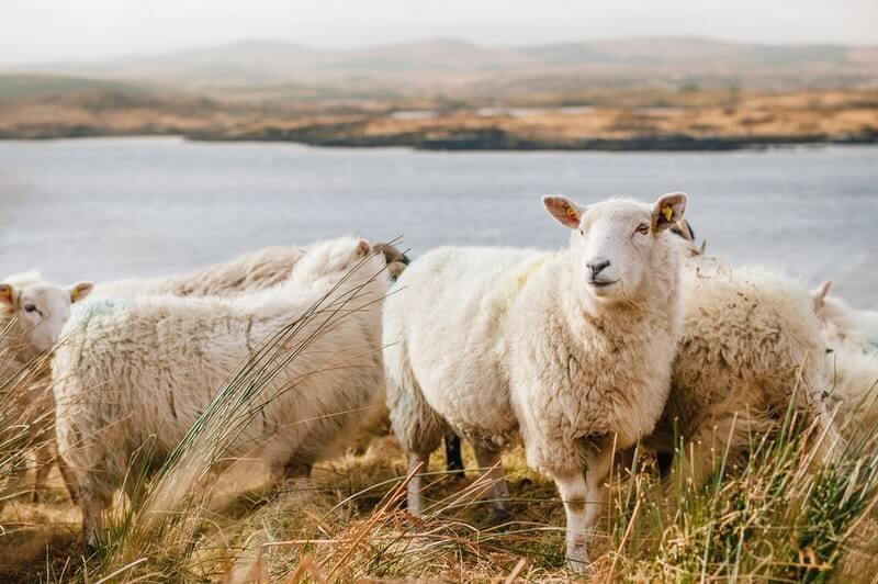 """Grom na Braču vlasniku stada usmrtio 47 ovaca: """"Nemamo penzije, ostali smo bez svega"""""""