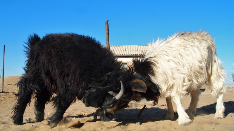 P9192605 Turkmenistan, Central Asia, Karakum, goat