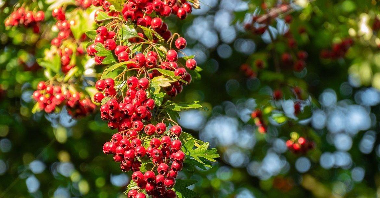 L'aubépine est une plante qui aide a diminuer la nervosité et le stress