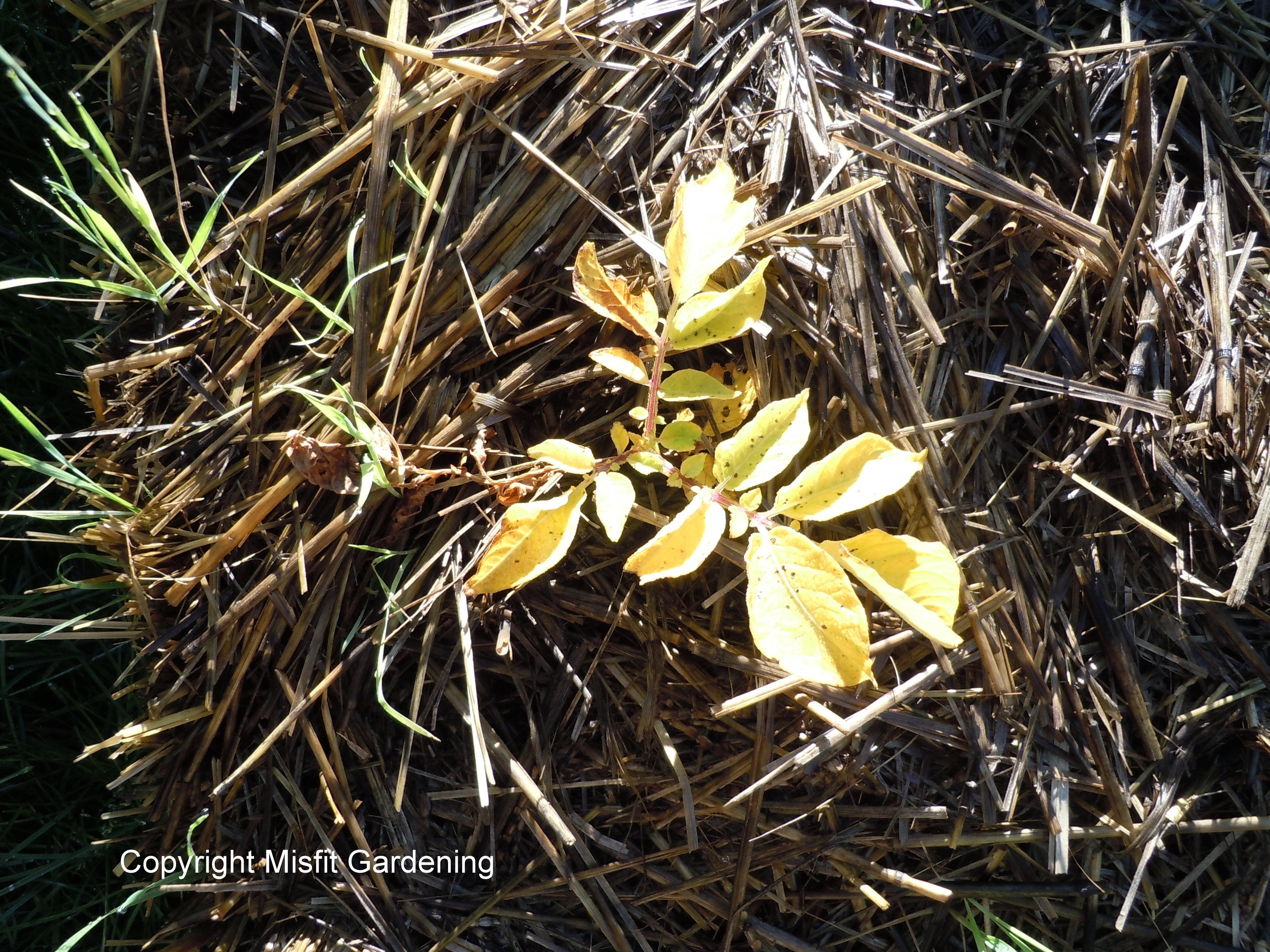 Hay bale Garden Update - Misfit Gardening