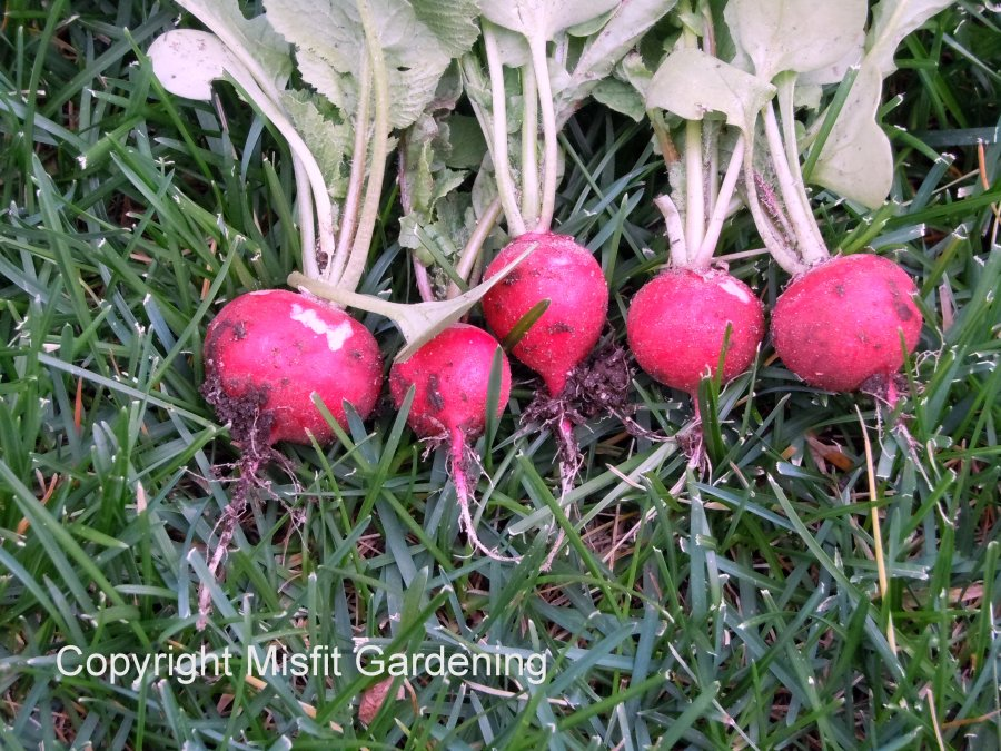 Organically grown radishes