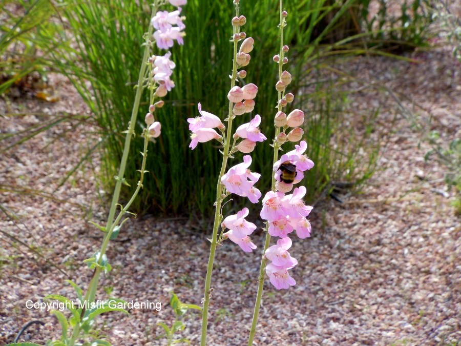 Feeding from Palmer's Penstemon