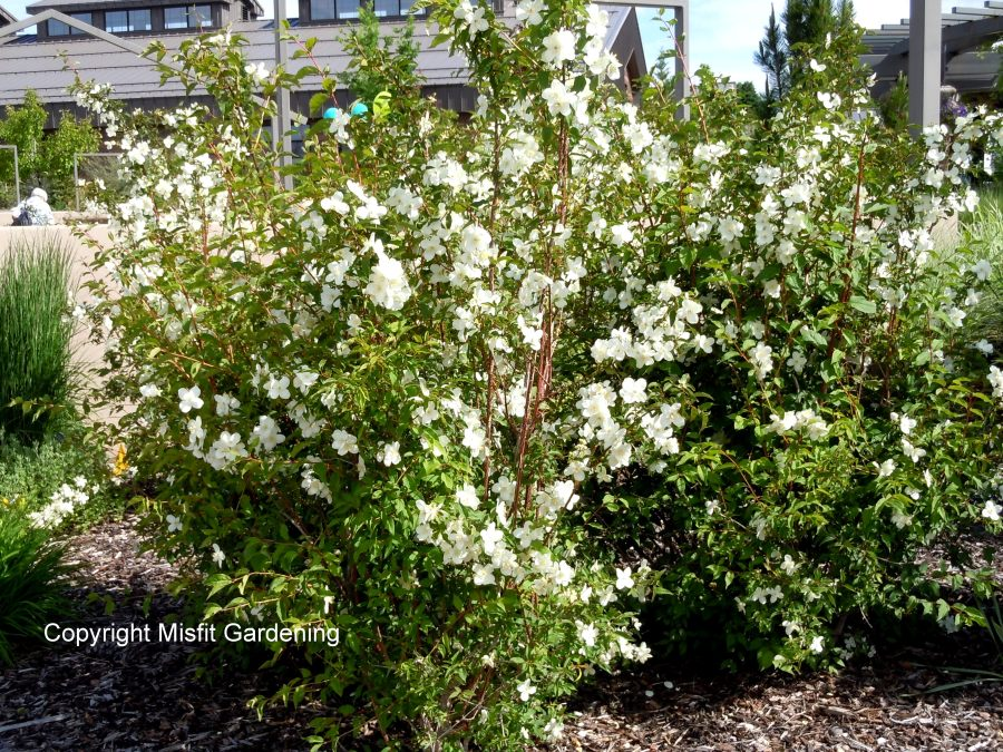 "Mock Orange ""Cheyenne"""