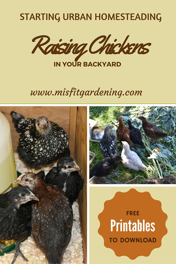 Raising Chickens In Your Backyard