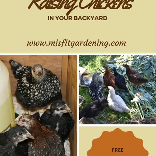 Starting urban homesteading raising chickens in your backyard