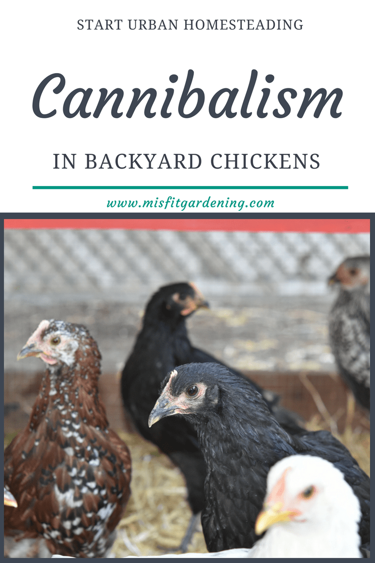 Find out about cannibalism in backyard chickens and 16 ways how to prevent it. Pin it to save for later or click through to find out more.