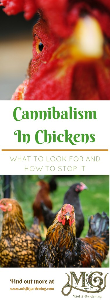 How to recognize and stop cannibalism in backyard chickens . Click to find out more or pin it for later