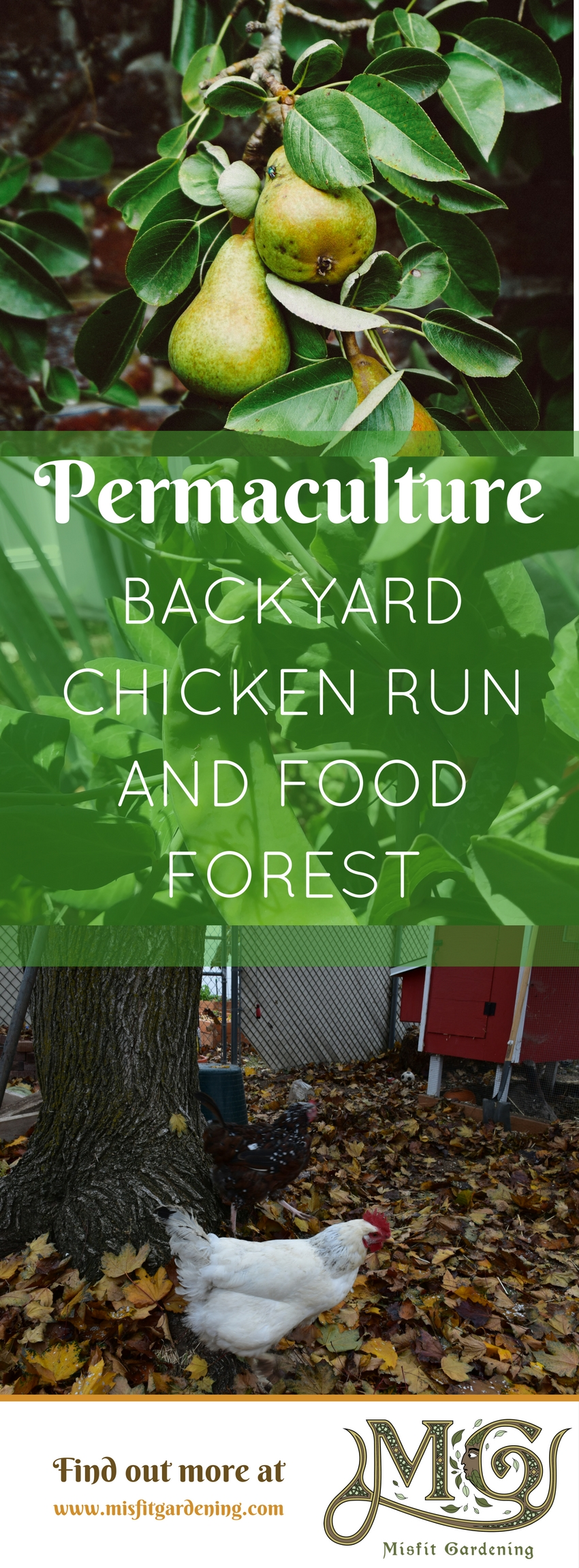 Backyard chicken runs can be designed as productive food forests for you and the chickens! Click to find out more about permaculture chicken yards and food forests or pin it for later