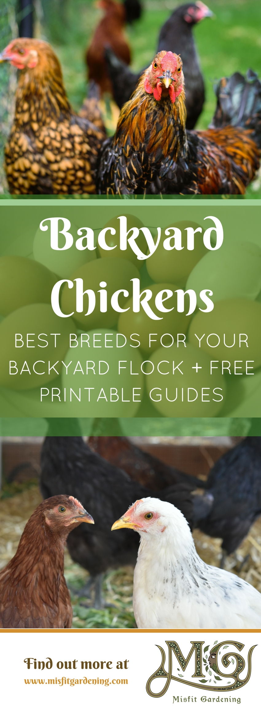 Best backyard chicken breeds for suburban homesteads. Click to learn more  or pin it for - Best Backyard Chicken Breeds For Suburban Homesteads - Misfit Gardening