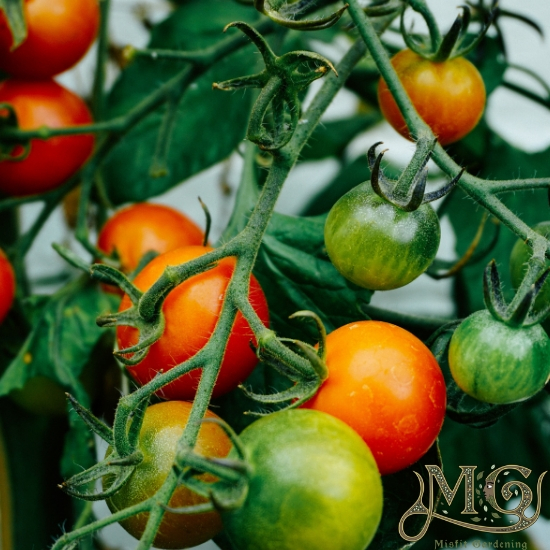 wie man Tomatenpflanzen beschneidet