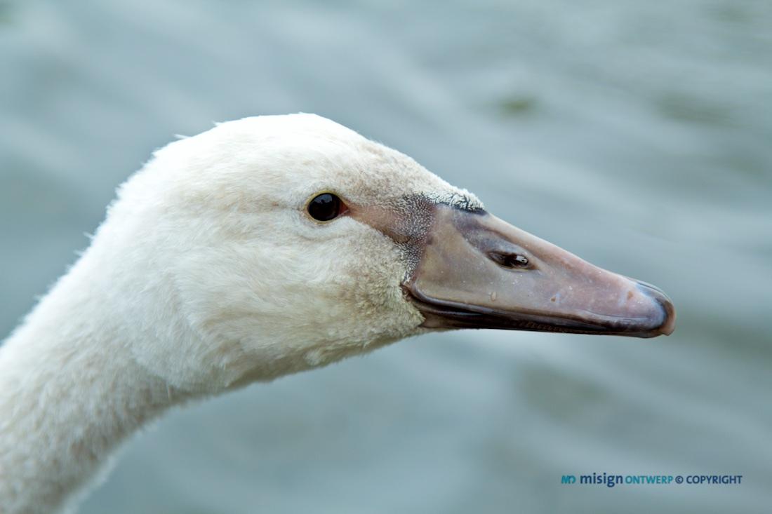 De kop van een witte zwaan heel close.